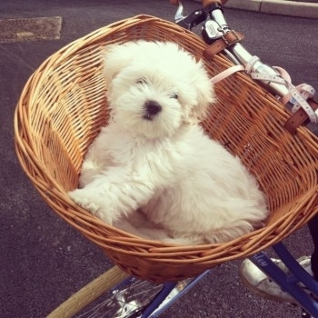 My puppy Lola's first ride on the pashley poppy x